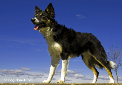 Click to know more about the Border Collie.