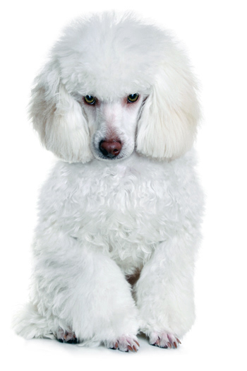 Click to know more about the Poodle.