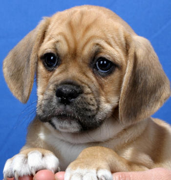 Puggle Puppies on The Puggle Is A Small Mixed Breed Created By Mating A Pug And A Beagle