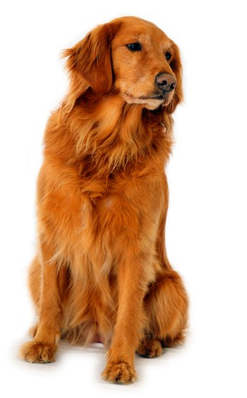 Click to know more about the Golden Retriever .