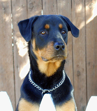 Click to know more about the Rottweiler.