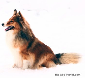Click to know more about the Shetland Sheepdog.