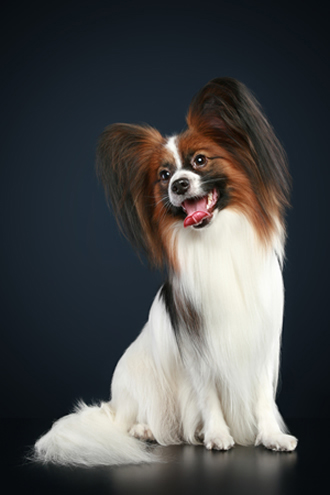 Click to know more about the Papillon.