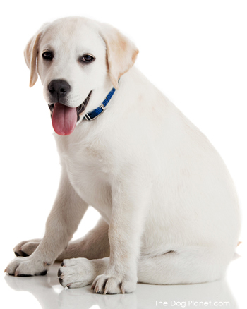 Click to know more about the Labrador Retriever.